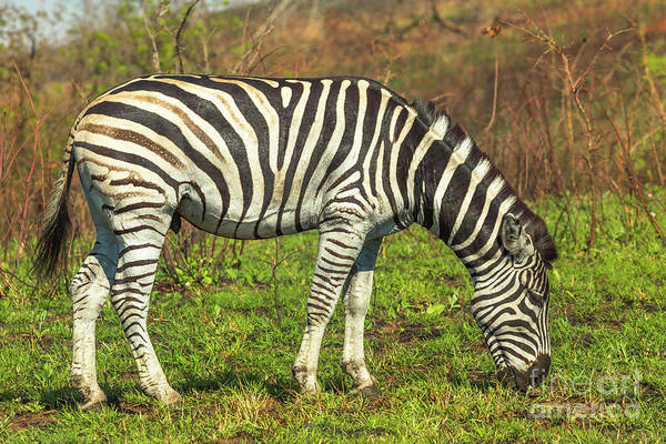 Photograph - Zebra In Isimangaliso Park by Benny Marty