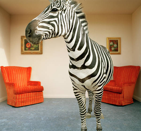Out Of Context Photograph - Zebra In Living Room by Matthias Clamer