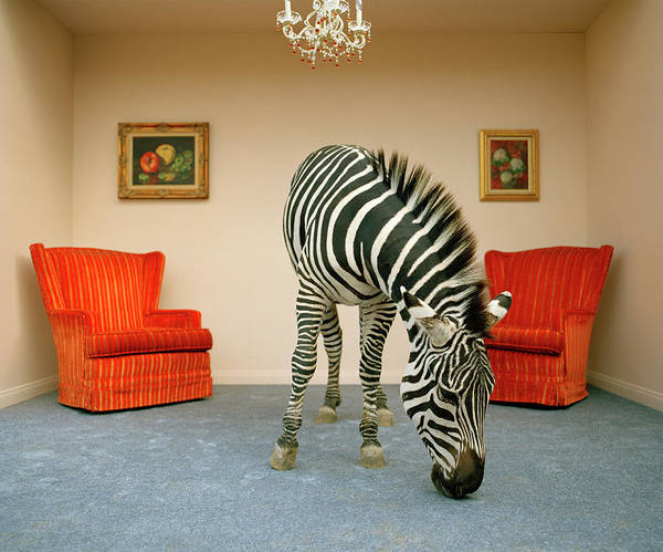 Out Of Context Photograph - Zebra In Living Room Smelling Rug by Matthias Clamer
