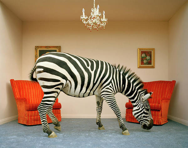 Curiosity Photograph - Zebra In Living Room Smelling Rug, Side by Matthias Clamer