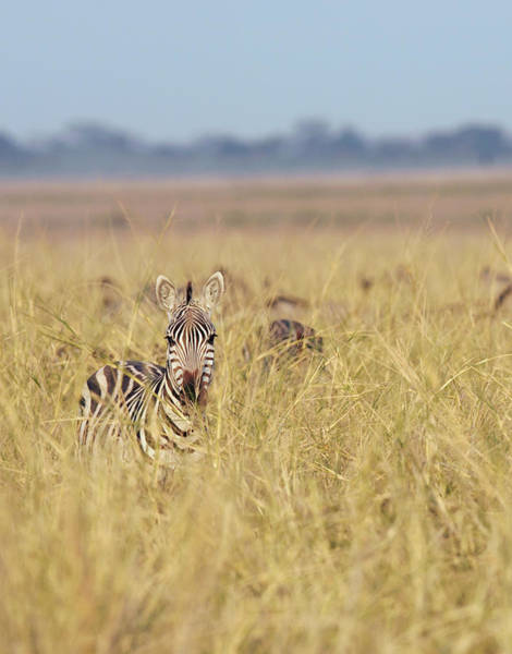 Hiding Photograph - Zebra In Long Grass, Amboseli National by Cultura Rm Exclusive/philip Lee Harvey