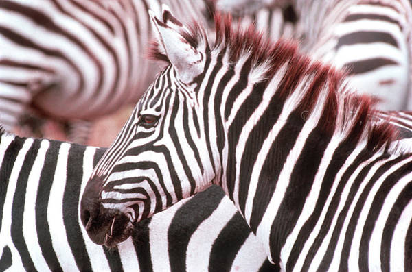 Photograph - Zebra by John Dominis