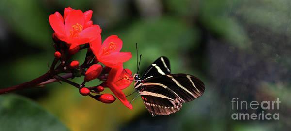 Wall Art - Photograph - Zebra Longwing Butterfly by Elaine Manley