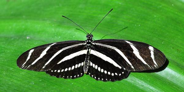 Photograph - Zebra Longwing Butterfly by KJ Swan