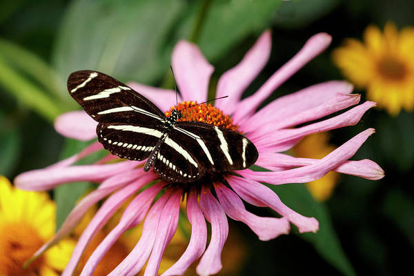 Photograph - Zebra Longwing Butterfly by Wes and Dotty Weber