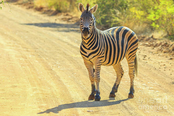 Photograph - Zebra Marakele Np by Benny Marty