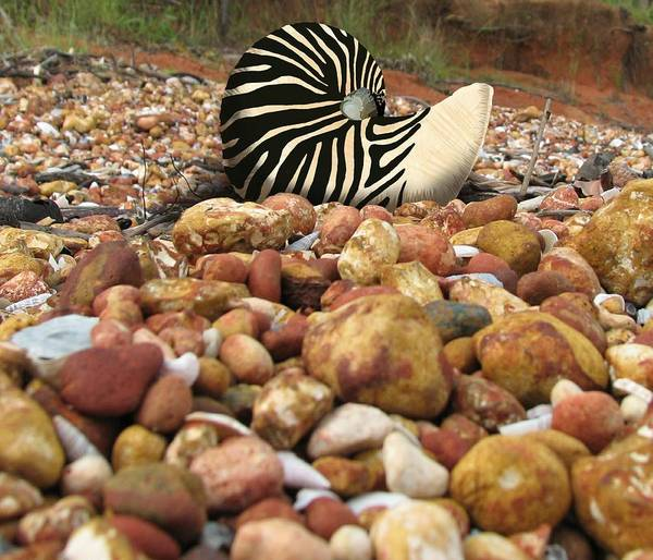 Wall Art - Mixed Media - Zebra Nautilus Shell On Bauxite Beach by Joan Stratton