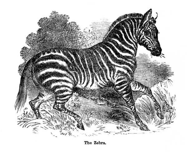Art Prints Digital Art - Zebra by Nnehring