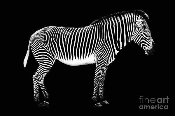 Wall Art - Photograph - Zebra On Black Background by Delphimages Photo Creations