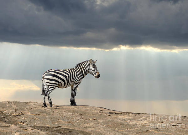 Reserve Wall Art - Photograph - Zebra On Stone In Africa, National Park by Volodymyr Burdiak