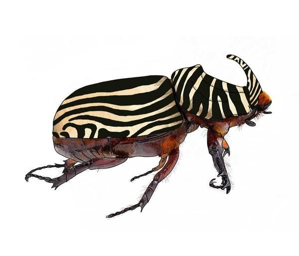 Drawing - Zebra Pattern Rhinoceros Beetle 1 by Joan Stratton