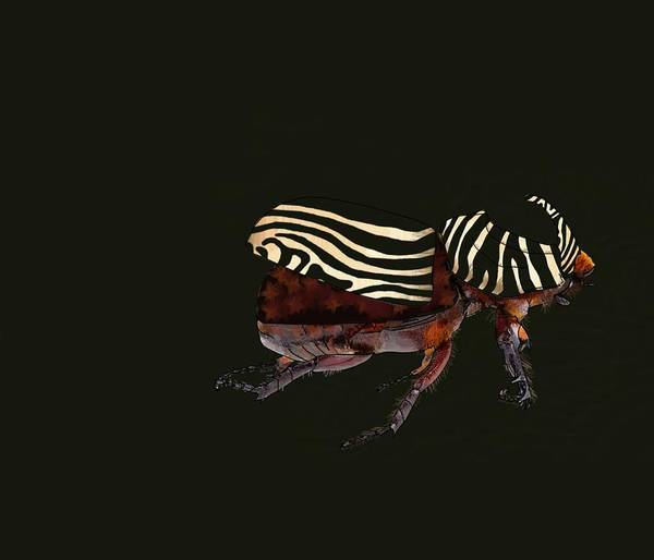 Wall Art - Drawing - Zebra Pattern Rhinoceros Beetle Black Background by Joan Stratton
