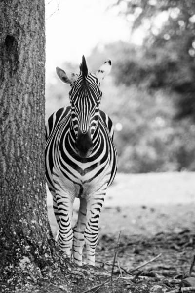 Wall Art - Photograph - Zebra Portrait - Black And White by Mary Ann Artz