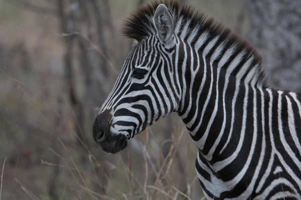 Photograph - Zebra Portrait In Profile by Mark Hunter