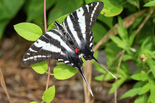 Photograph - Zebra Swallowtail Butterfly #1 by Todd Henson