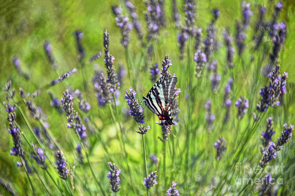 Wall Art - Photograph - Zebra Swallowtail Butterfly In Lavender Field by Catherine Sherman