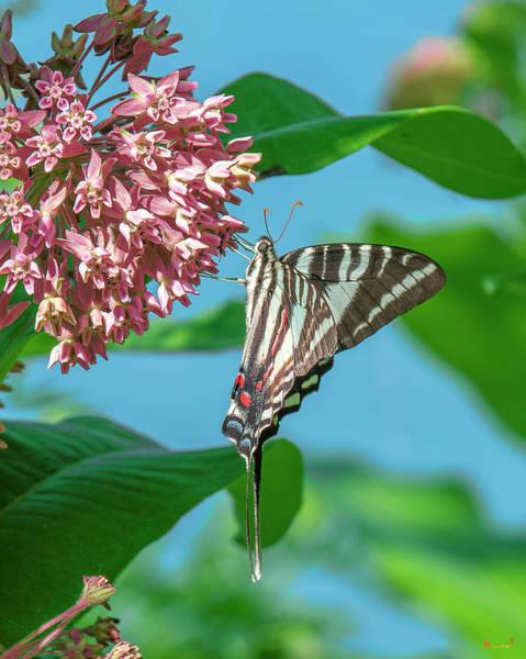 Photograph - Zebra Swallowtail Din0240 by Gerry Gantt