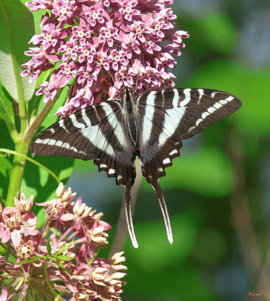 Photograph - Zebra Swallowtail Din0243 by Gerry Gantt