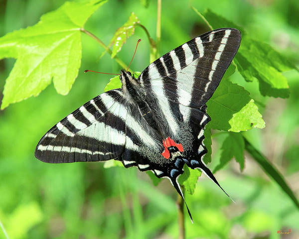 Photograph - Zebra Swallowtail Din0279 by Gerry Gantt