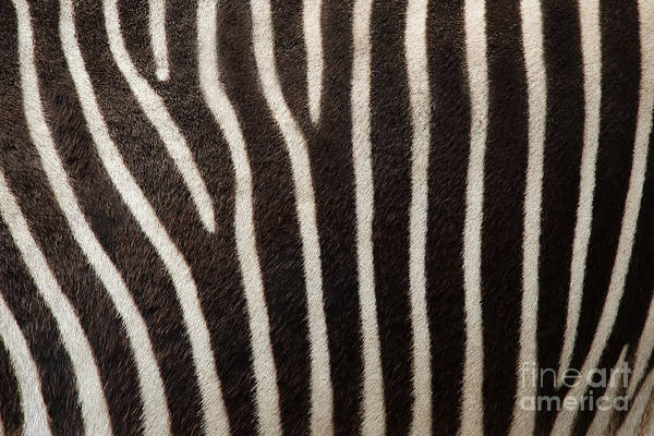 Wall Art - Photograph - Zebra by Uzuri