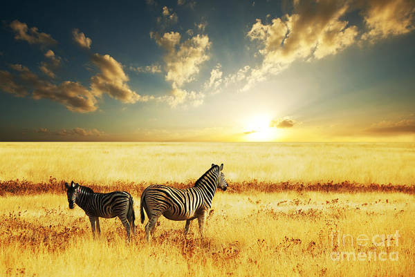 Wall Art - Photograph - Zebras At Sunset by Galyna Andrushko