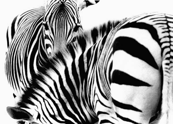 Horizontal Stripes Photograph - Zebras Equus Burchelli, Close-up B&w by Pal Hermansen