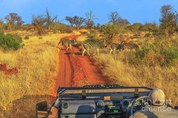 Photograph - Zebras Game Drive by Benny Marty