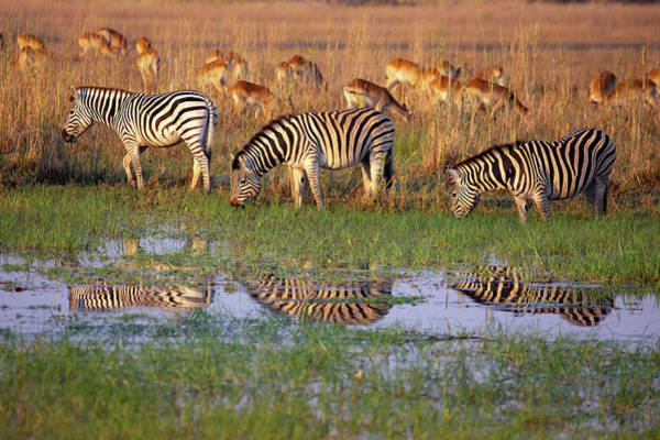 Photograph - Zebras In Botswana by John Rodrigues