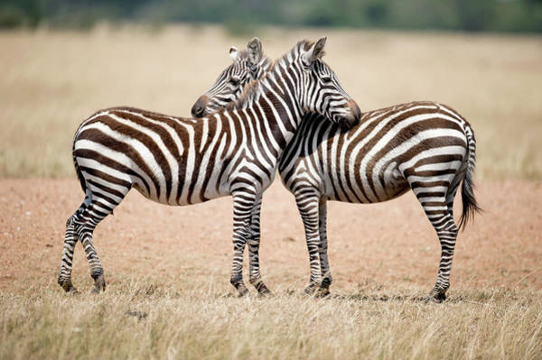 Zebra Pattern Photograph - Zebras In Field by Rebecca Yale