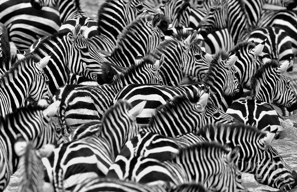 Mane Wall Art - Photograph - Zebras In The Big Herd During The Great by Photocechcz