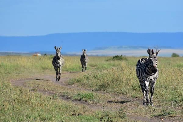 Wall Art - Photograph - Zebras Walking by Marta Kazmierska