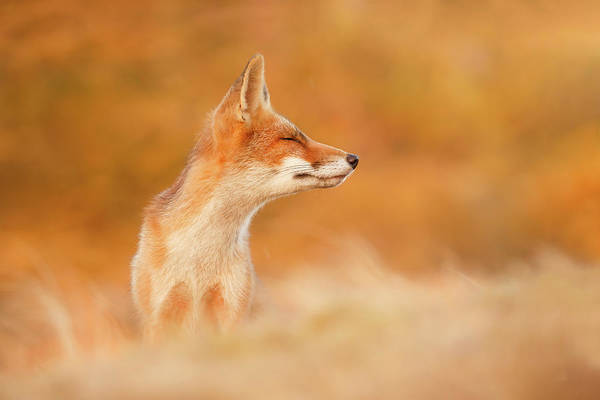 Wall Art - Photograph - Zen Fox Series - Sunshine On A Cloudy Day by Roeselien Raimond