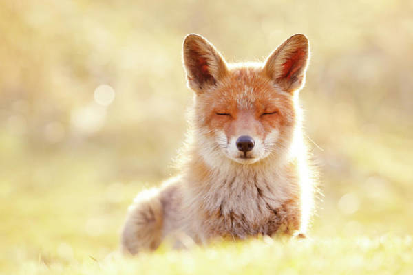 Wall Art - Photograph - Zen Fox Series - The Chillest Of Foxes by Roeselien Raimond