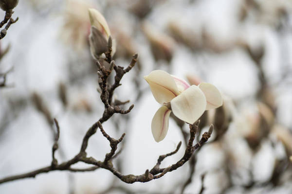 Wall Art - Photograph - Zen Magnolia Blossom by Jenny Rainbow