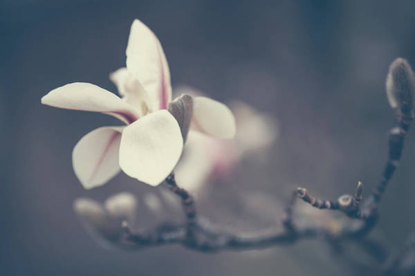 Wall Art - Photograph - Zen Magnolia Flower Boho Style by Jenny Rainbow