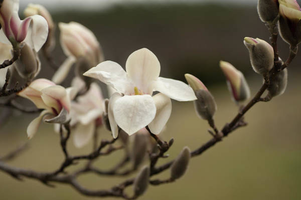 Wall Art - Photograph - Zen Magnolia Soft Bloom 1 by Jenny Rainbow