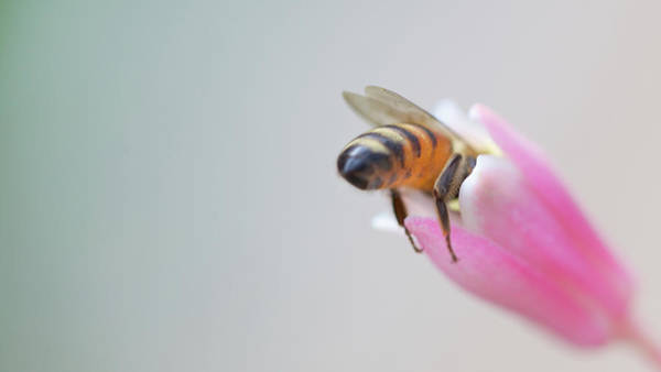 Bee On Flower Wall Art - Photograph - Zilker by Vaillancourt Photography
