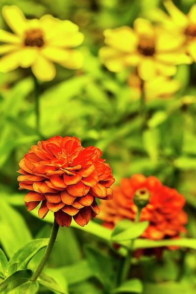 Photograph - Zinnia Brilliance by Kay Brewer