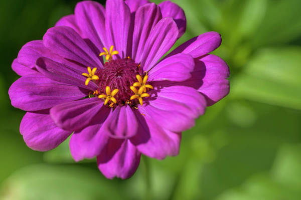 Photograph - Zinnia Elegans Benary's Giant Purple by Jenny Rainbow