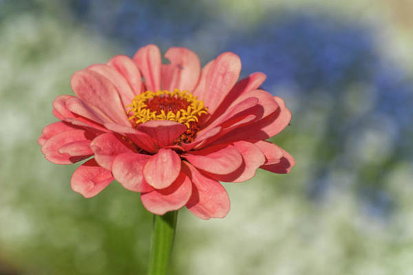 Photograph - Zinnia Elegans Dasher Pink by Jenny Rainbow