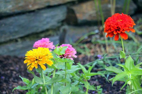 Photograph - Zinnia Garden by Cynthia Guinn