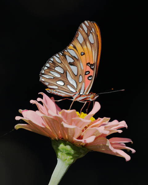 Photograph - Zinnia With Butterfly 3044 by John Moyer