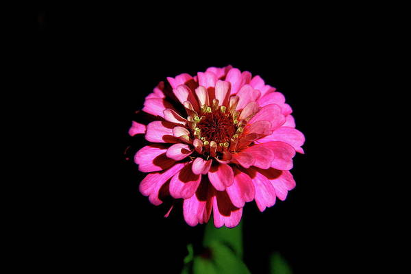 Photograph - Zinnia Wonder by Allen Nice-Webb