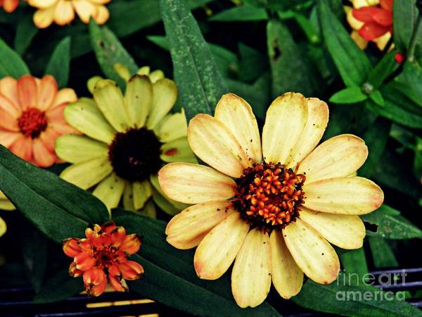 Zinnia Wall Art - Photograph - Zinnias In Autumn by Sarah Loft