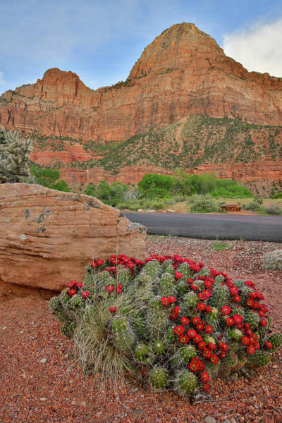 Photograph - Zion Canyon Cacti In Full Bloom by Ray Mathis