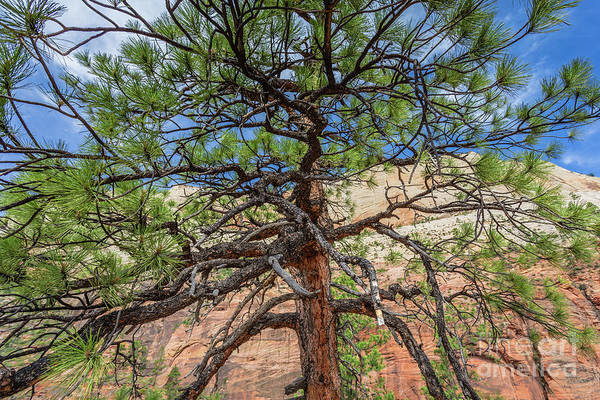 Wall Art - Photograph - Zion National Park Bristlecone Pine by Edward Fielding
