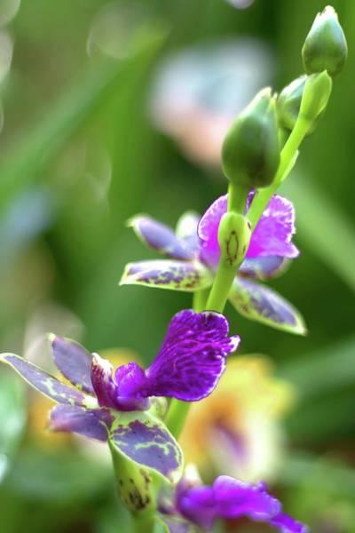 Photograph - Zygopetalum Advance Australia Orchid II by Carol Montoya
