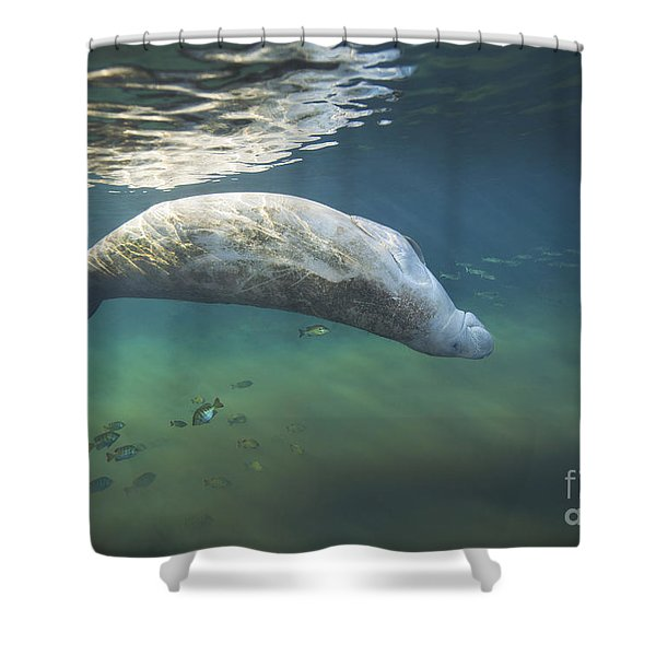 A West Indian Manatee Rolls Over Upside Shower Curtain