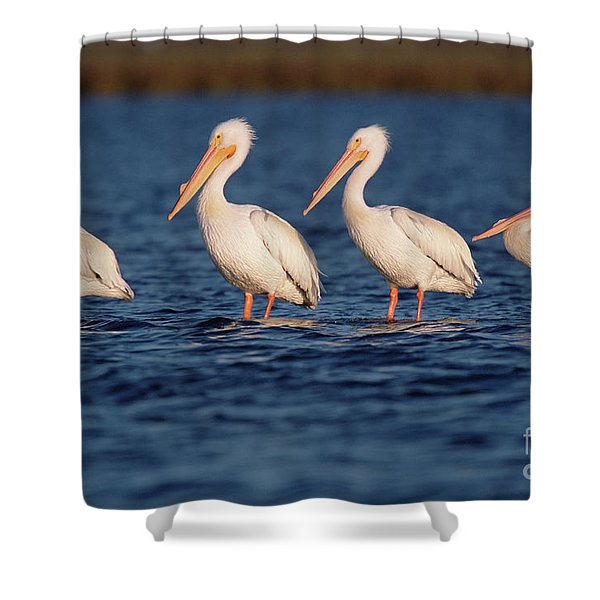 American White Pelicans  Shower Curtain