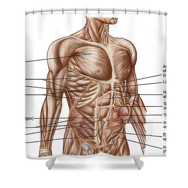 Anatomy Of Human Abdominal Muscles Shower Curtain